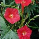 Morning Glory Seeds-Bright Scarlet-Hummingbirds