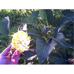 DATURA ( ANGELS TRUMPET) CREAM AND SUGAR (15 ) SEEDS