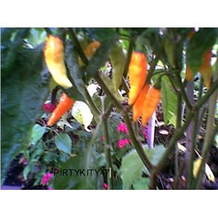 DATIL HEIRLOOM HOT PEPPER Seed** RARE **