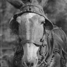 WALKER EVANS PHOTO MULE VINTAGE FARM ANIMAL 1936 HISTORIC