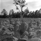 TOBACCO LEAF PLANT BLOOM FLOWER PHOTO VINTAGE LANGE 30S