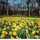 New Postcard, Daffodil Glade, The Morton Arboretum, Very Good Condition