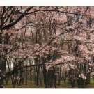 New Postcard, Sargent Cherry Trees, The Morton Arboretum, Very Good Condition