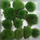 Live Cushion Moss Terrarium- 12 Med Size