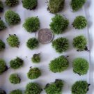 "Live Cushion Moss - 24 Teeny Size ""Buttons"""