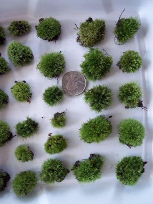 Live Cushion Moss - 24 Teeny Size &quot;Buttons&quot;