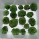 Live Cushion Moss Terrarium - 16 Small Size