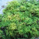 Live Delicate Fern Moss For Vivarium Terrarium Bonsai