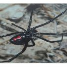 BLACK WIDOW SPIDER LICENSE PLATE 6 X 12 NEW
