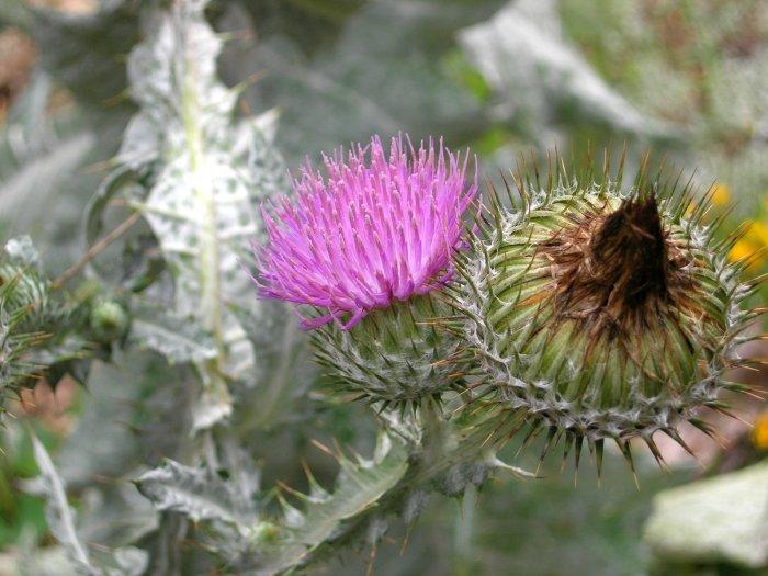 Scottish Thistle seeds.... .. No SHIPPING ....
