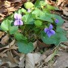 Sweet Blue Violet Plants