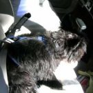Dog Harness for car seatbelt / Cairn Terrier / Scottish Terrier / Westie Terrier and other breeds