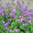 Lunaria - Honesty - 'Money Plant' Seeds …. NO SHIPPING