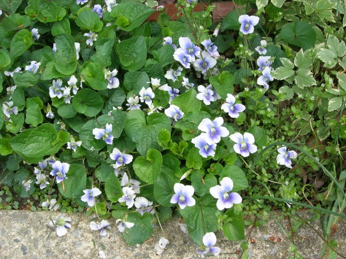 Confederate Violet Seeds..lt blue..RARE..NO SHIPPING