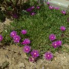Ice Plant: Delosperma Cooperi Plants - small box