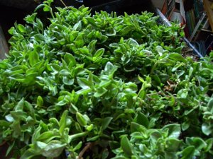 Ice Plant: Aptenia Cordifolia - Baby Sunrose - Medium Box