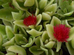 Ice Plant: Aptenia Cordifolia Variagata - Not Available Spring 2012