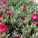 Ice Plant: Delosperma Sphalmanthoide - Small box