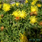 Ice Plant: Malephora luteola -Rocky Point Ice Plant - Small box