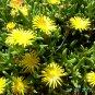 Ice Plant: Malephora luteola -Rocky Point Ice Plant - Small box