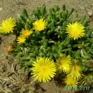 Ice Plant: Malephora luteola - Rocky Point Ice Plant - Large Box