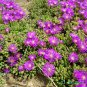 Ice Plant Purple Floribunda - Drosanthemum floribundum - 1 gallon
