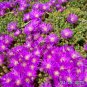 Ice Plant Purple Floribunda - Drosanthemum floribundum - Medium Box
