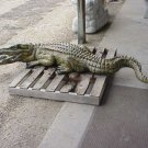 7 foot curled Tail Alligator w/open mouth