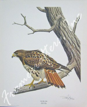 """Red Tailed Hawk"" by Ronald J. Louque 22x28"