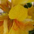 Canna Blooms