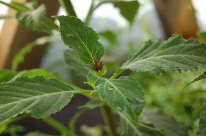 "Salvia divinorum ""Salvia"""