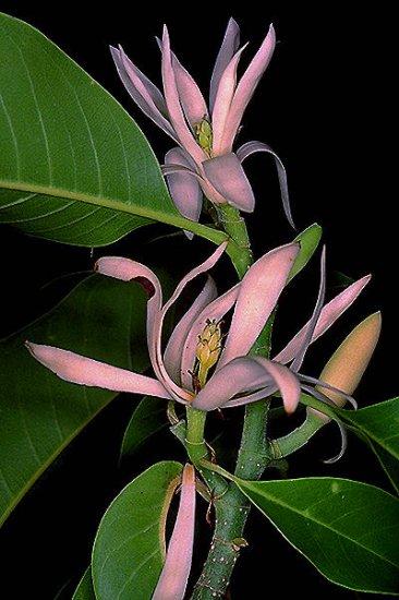 CHAMPACA magnolia jazmine PERFUME PLANT TREE GARDEN LANDSCAPE SPRING FLOWER SEED home garden