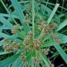 UMBRELLA PLANT - Cyperus alternifolius - landscape garden gardening flowers plants