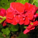 BOLD RED GERANIUM CUTTING DOUBLE CLUSTER FLOWERS GARDEN GARDENING PLANT edging