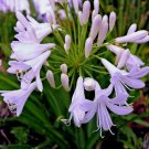 WHITE AGAPANTHUS lily of the nile BULB SEED PLANT GARDEN HOME GARDENING