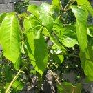 LEAFY UMBRELLA PLANT HOME GARDEN GARDENING TREE CUTTING