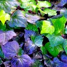 TRAILING Hedera Helix English Ivy CUTTING PLANT GARDEN HOME DECOR GROUND COVER