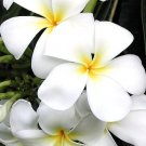PLUMERIA HAWAII live PLANT GARDEN FLOWER HOME tropical cactus