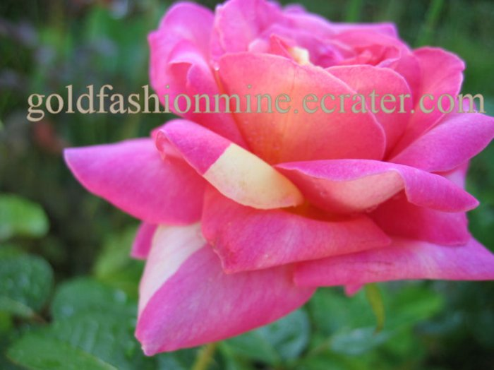 "SOLD DIGITAL IMAGE JPEG FILE PEACH ROSE home garden flower flowers gift card ""JESTER ROSE"" roses"