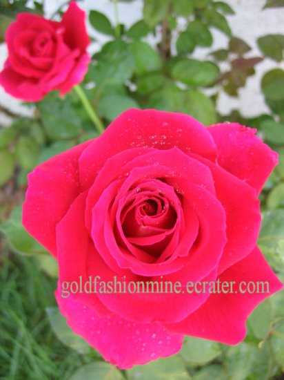 "SOLD DIGITAL IMAGE JPEG RED LOVE ROSE home garden flower flowers gift card ""BELLA RED ROSE"" roses"