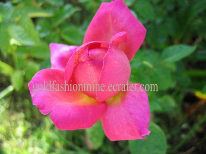 "SOLD DIGITAL IMAGE JPEG FILE PEACH ROSES home garden flower flowers gift card "" OPENING ACT ROSE """