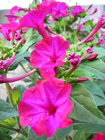 four o'clocks Mirabilis jalapa FUCHSIA lk petunia trumpet FLOWERS lot 10 SEEDS PLANTS GARDEN HOME