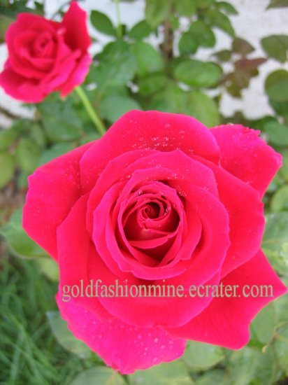 FRAGRANT ROSE RED CUTTING plant flower GARDEN HOME DECOR GORGEOUS GARDENING
