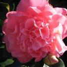 japanese CAMELLIA PLANT BUSH GARDEN gardening home peony pink landscape design hobby