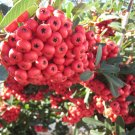 cutting RED BERRY PLANT GARDEN NOT SHARP LEAF GARDENING HOME hardy bush