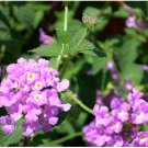 PURPLE VERBENA VINE GROUNDCOVER PLANT HOME GARDEN YARD