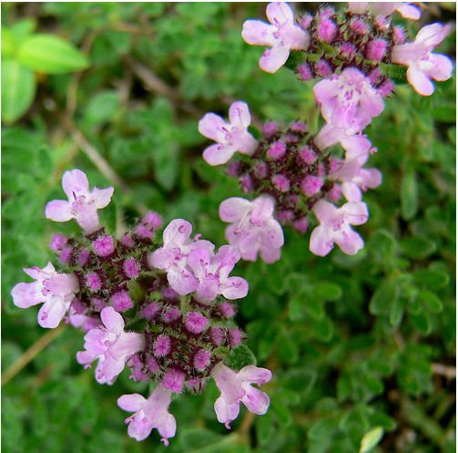 THYME HERB flower CUTTING GARDEN HOME HEALTH COOKING BEAUTY PLANT SEED