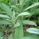 SAGE HERB CUTTING GARDEN HOME HEALTH COOKING BEAUTY PLANT SEED