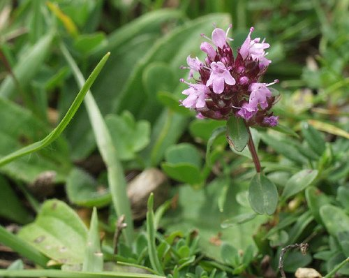SWEET MARJORAM HERB flower CUTTING GARDEN HOME HEALTH COOKING BEAUTY PLANT SEED