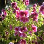 mini martha washington geranium cutting flower garden plant gardening hobby spring landscape